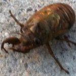 cicada_nymph_rachel