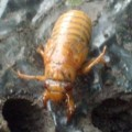 cicada_nymph_teresa