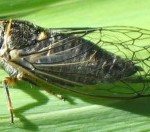 cicada_oregon_scott