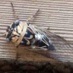 cicada_sara