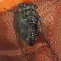 cicada_sarah