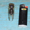 cicada_screaming_fly