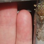 cicada_small_elise