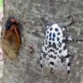 cicada_tiger_moth_andrew