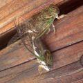 cicadas_mating_jen