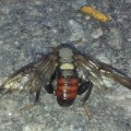 cimbicid_sawfly_finland_