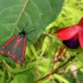 cinnabar_moth_uk_paul