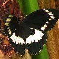 citrus_swallowtail_solomons_bruce