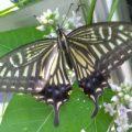 citrus_swallowtail_south_korea_sarah
