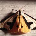 clymene_moth_ma_mike