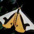 clymene_moth_mike