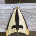 clymene_moth_va