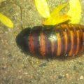 cockroach_colorado