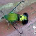 coffee_bean_hawkmoth_south_africa_ashling