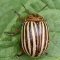 colorado_potato_beetle_bulgaria