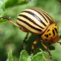 colorado_potato_beetle_lars