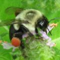 common_eastern_bumblebee_j