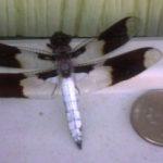common_whitetail_male_katie