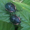 conchuela_bug_nymphs