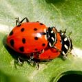 convergent_lady_beetles_mating_2_naaman
