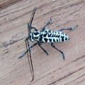 cottonwood_borer_texas