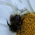crab_spider_eats_bee_sharon