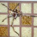 crab_spider_maldives_edwina