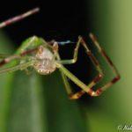 crab_spider_nathanael