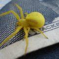 crab_spider_washington