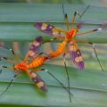 crane_flies_mating_india_mahesh