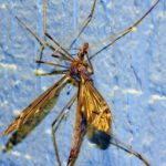 crane_fly_and_hitchhiker