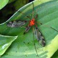 crane_fly_phoretic_mites_dan