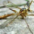 cranefly_dakota