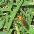 cranefly_nephrotoma_wulpiana