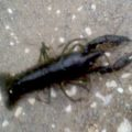 crayfish_joey