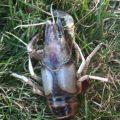 crayfish_sherri