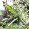 crematogaster_ants_kenya_zarek