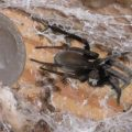 crevice_weaver_spiderlings_georgia
