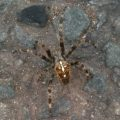 cross_spider_uk_sarah