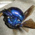 cuckoo_wasp_carnage_australia