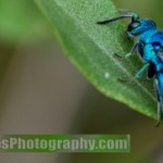 cuckoo_wasp_david