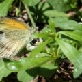 dainty_sulphur_laying_eggs_on_chickweed_don
