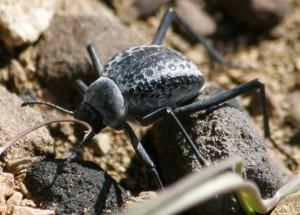 Darkling Beetle From Afghanistan Adesmia Karelini What