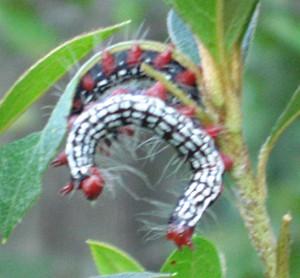 Azalea Caterpillar What S That Bug