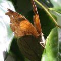 dead_leaf_butterfly_ghana_aj