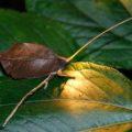 dead_leaf_mimic_katydid_costa_rica_miles