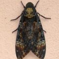 deaths_head_hawkmoth_south_africa