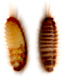 Pantry Beetle Larvae What S That Bug