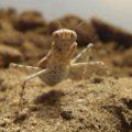 desert_mantis_saudi_arabia_2