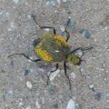desert_spider_beetle_ernie